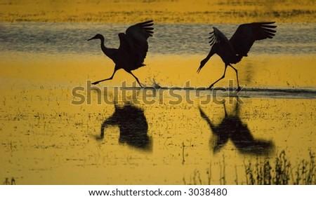 Sandhill cranes at sunset