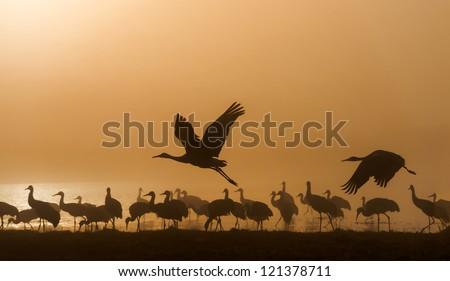 Sandhill cranes in Bosque del Apache national wildlife refuge, New Mexico.