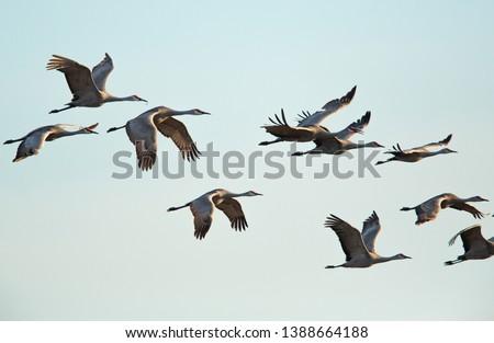Sandhill Cranes in flight, Platte River Nebraska #1388664188
