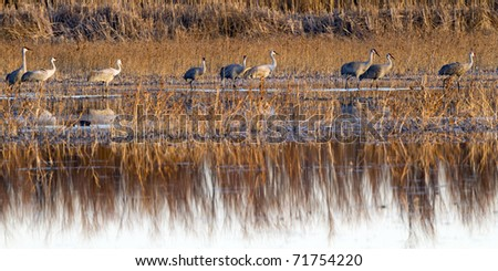 Sandhill Cranes wintering at Bosque del Apache National Wildlife Refuge in New Mexico