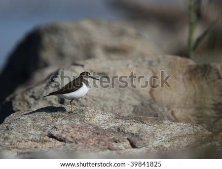 Sandpiper - stock photo