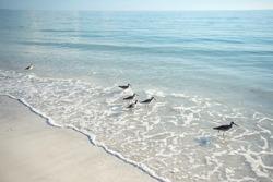 Sandpiper birds are feeding on sandy Siesta Key beach in Florida