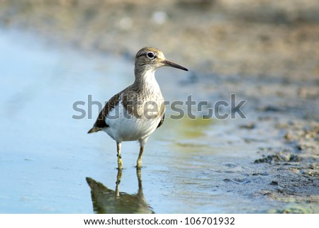 Sandpiper - european water bird - stock photo