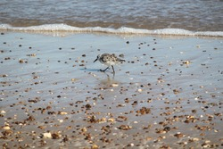 Sandpiper running in surf at Sea Rim State Park, Texas