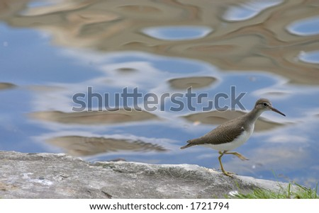 Sandpiper walking by pond