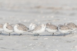 Sandpipers on Beach, Avalon, New Jersey