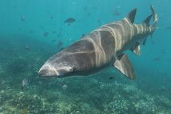 sandtiger shark or grey nurse shark or spotted ragged-tooth shark, Carcharias taurus, Cape Infanta, South Africa, Indian Ocean