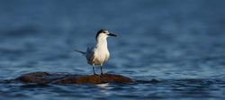Sandwich tern in its natural enviroment in Denmark