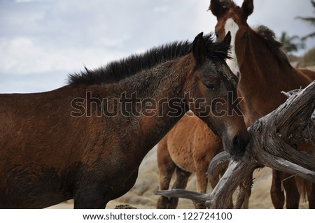 Sandy bay foal with a group of feral horses on a beach in Vieques, Puerto Rico