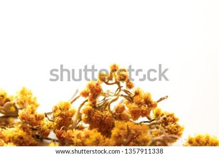 sandy everlasting flower tea