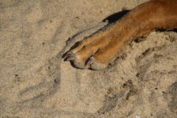 Sandy Large Brown Rhodesian Ridgeback Dog Paw With Nails On Beach
