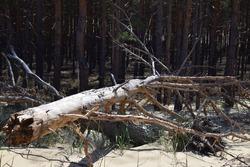 Sandy soil erosion near the pine wood, sand mining.environmental problems. Restoration of the territory
