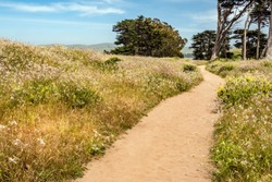 Sandy trail with footprints between stands of wildflowers in abundance near Pierce Point Ranch along Point Reyes National Seashore, California, USA, in May, for motifs of conservation and recreation