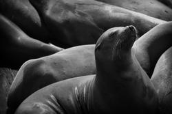 SanFrancisco bay - Sea Lion