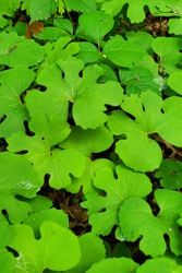 Sanguinaria canadensis Bloodroot Low Growing Green Plant in Minnesota