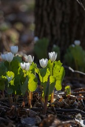 Sanguinaria canadensis is also known as Canada puccoon, bloodwort,redroot, red puccoon, and sometimes pauson