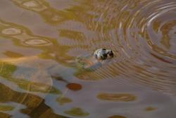 Sani Island, Rio Napo, upper Amazon basin, Ecuador. 26 Dec. 2014. Giant Amazon river Turtle. Podocnemis expansa.