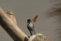 Sani Island, Rio Napo, upper Amazon basin, Ecuador. 2 Jan. 2015. Butterflies drinking salt from head of Giant Amazon River Turtle. Podocnemis expansa