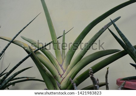 Sanseviera ornamental plants are known for their sharp and sharp tips.