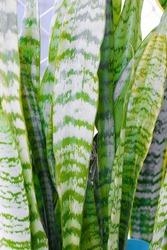 Sansevieria Leaves Plant Green Nature Espada de Sao Jorge Planta Verde Natureza