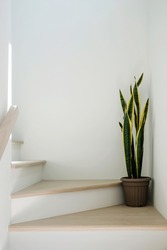 Sansevieria or snake plant at staircase in home