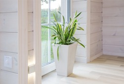Sansevieria trifasciata. Bright interior of the room in a wooden house with a large window overlooking the summer courtyard. Summer landscape in white window. Home and garden concept. House plant