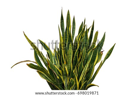 Sansevieria Trifasciata, snake plant, mother-in-laws tongue on white background