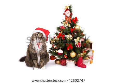 Santa cat dressing up in red Christmas cap and sitting by Christmas tree on white backgrounds. Domestic cat in New Year's hat and is looking fixedly at the camera.Year of tiger.Year of cat (rabbit).