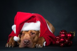Santa Claus. Gnome, dwarf, leprechaun. Dog, pit bull in the clothes of Santa Claus. Postcard, congratulations.