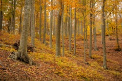 Santa Fe de Montseny beech forest in autumn (Montseny, Barcelona, Catalonia, Spain) ESP: Hayedo de Santa Fe de Montseny en otoño (Montseny, Barcelona, Cataluña, España)