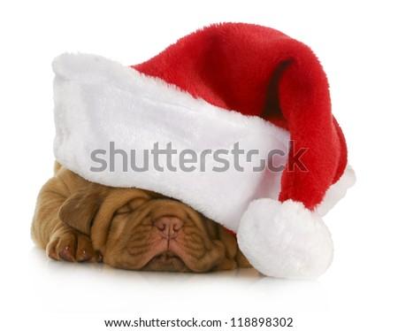 santa puppy - dogue de bordeaux puppy wearing santa hat - 4 weeks old