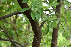 Santalum album stems branches twigs dark brown colour with green leaves with selectively focused blurred background