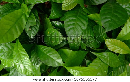 Sapling Coffee Tree Young Leaves Foto stock ©