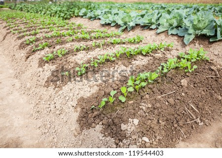"sapling of ""Baby Chinese Cabbage"", a kind of cabbage,also called Endive"