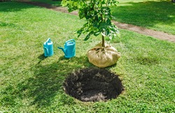 sapling tree ready for planting in the city park, concept of landscaping of the territory