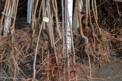 Saplings of fruit trees with soil covered roots. Sale of young trees for planting at the farmers' market. Bare rooted trees.