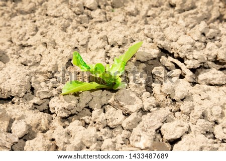Saplings that are born on the sand and grow alone on the sandy​ ground. The sapling grows in the garden after rain. Young plant growing out from soil in the summer morning light. #1433487689