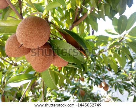 Sapodilla fruit for healthy. Sapodilla fruit come from America.This fruit for prevent cancer, constipation and dehydration.