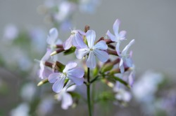 Saponaria officinalis white pink flowering soapweed flowers, wild uncultivated plant in bloom, group of flowers