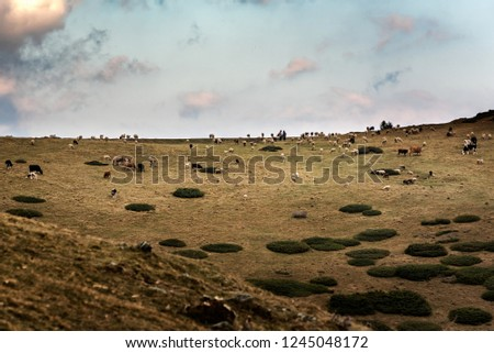 Sar Mountains, Sar Planina, Macedonia - Mixed Herd of Sheep and Cattle grazing on  under the Cloudy Sky