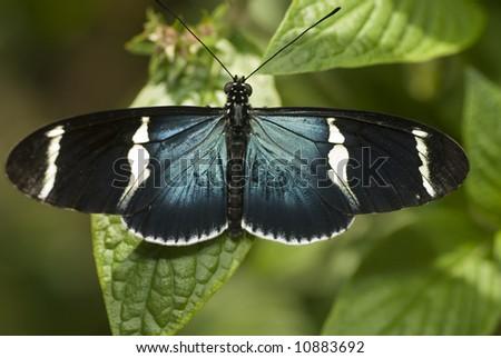 Sara Butterfly-Heliconius sara