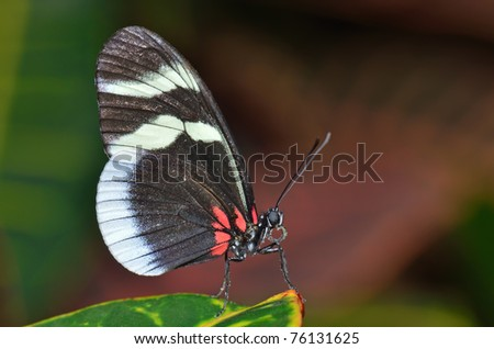 Sara longwing butterfly, heliconius sara, perched on leaf