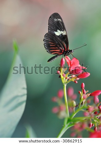 Sara Longwing (Heliconius sara) close up of a beautiful  butterfly on a leaf