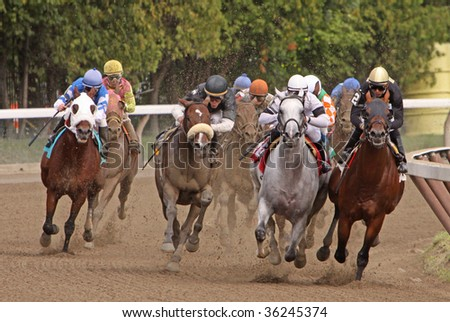 SARATOGA SPRINGS, NY - AUG 28: Thoroughbreds head down the stretch in the 6th race at Saratoga Race Course, Saratoga Springs, NY, Aug 28, 2009. Eventual winner is Grasberg (Ramon Dominguez up, #6).