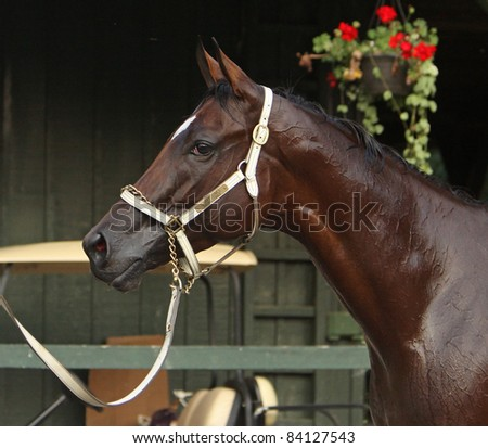 "SARATOGA SPRINGS, NY - SEPT 3: Champion filly ""Havre de Grace"" relaxes outside her stall after winning The Woodward Stakes at Saratoga Race Course on Sept 3, 2011 in Saratoga Springs, NY."