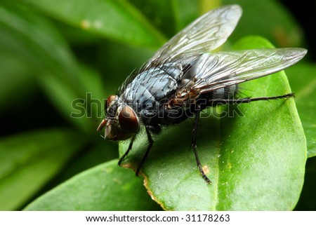 Sarcophaga carnaria fly - dangerous vehicle of infection