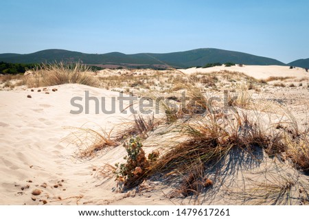 Sardinia, beach of the dunes. Panoramic view of white sand dunes with ammophila shrubs. These shrubs are used for dune formation #1479617261