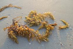 Sargassum on the beach, Sargassum is a genus of brown macroalgae (Seaweed) in the division Phaeophyta.