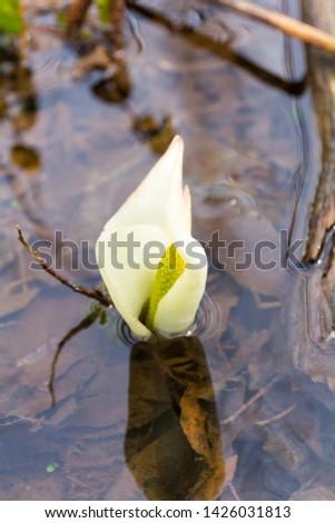 Sashimaki Moor Japanese Skunk Cabbage Colony, Akita, Japan  #1426031813