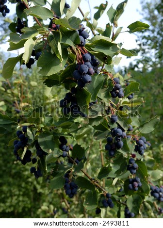 Saskatoon berries on the tree